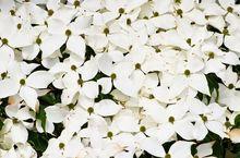 Dereń kousa - kwiaty