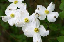 Dereń kwiecisty z białymi kwiatami