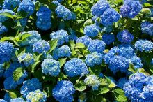 Hortensje z niebieskimi kwiatami