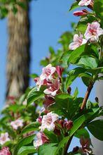 Krzew krzewuszki cudownej
