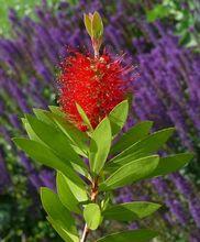 Kuflik - kwiat i liście