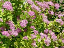 Kwitnąca tawuła japońska