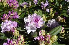 Kwitnący rododendron