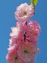 Migdałek (Migdałowiec) - kwiaty