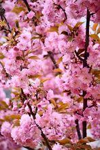Migdałek trójklapowy - kwiaty