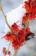 Oczar pośredni zimą