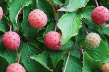Owoce derenia kousa