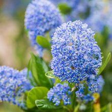 Prusznik niebieski - kwiaty