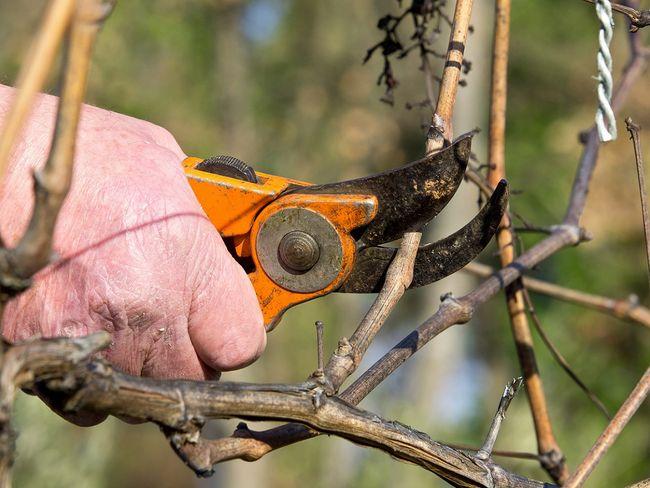 Cięcie winogron