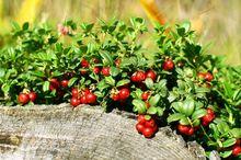 Borówka brusznica, czerwona