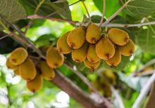 Owoce aktinidii - mini kiwi