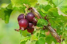 Owoce porzeczkoagrestu