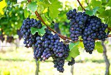 Owoce winorośli