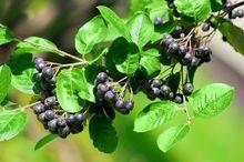 Owocująca aronia