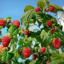 Owocujący krzew maliny