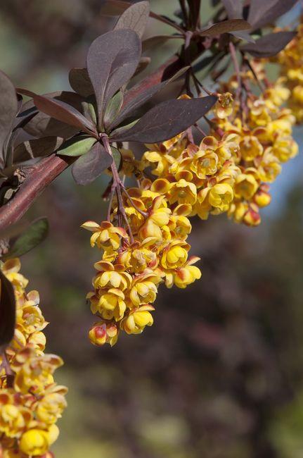 Kwitnący berberys ottawski