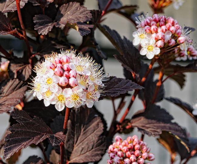 Pęcherznica kalinolistna - kwiaty i liście