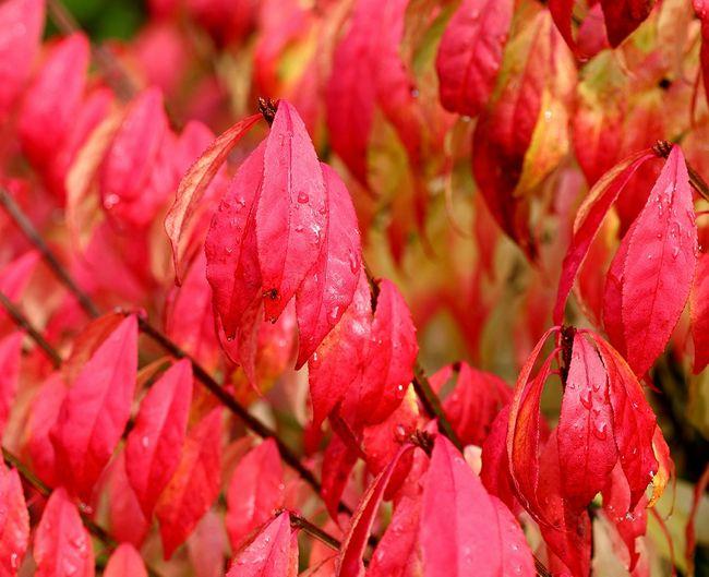 Trzmielina oskrzydlona jesienią