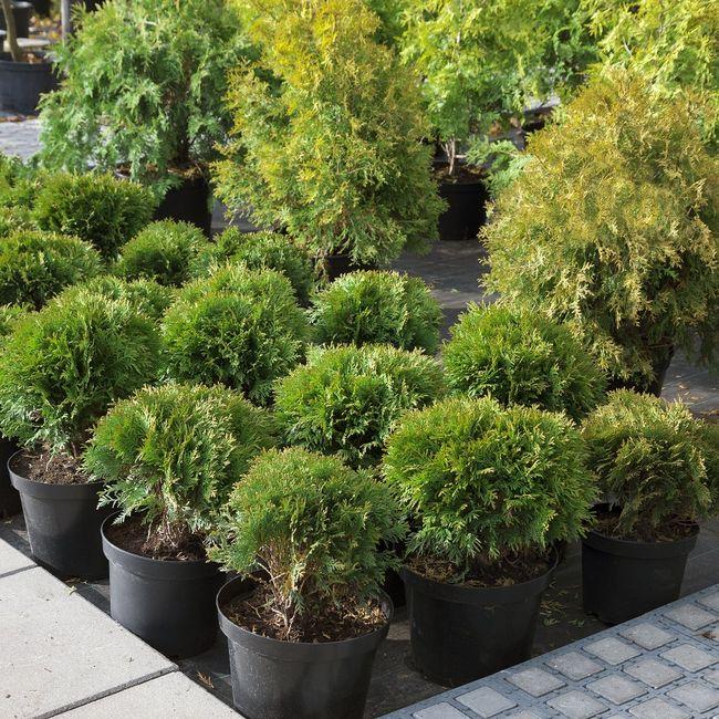 Tuje to popularne drzewa balkonowe
