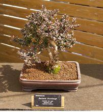 Berberys thunberga - bonsai