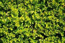 Bukszpan - krzew