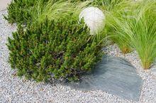 Kosodrzewina w ogrodzie japońskim
