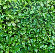 Laurowiśnia - liście