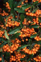Ognik szkarłatny - owoce
