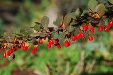 Owocujący berberys