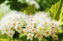 Pęcherznica kalinolistna - kwiat