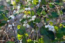 Śnieguliczka biała - krzew