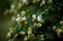Śnieguliczka biała - kwiaty i owoce