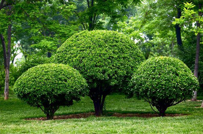 Przycięte krzewy