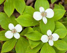 Kwitnący dereń kanadyjski