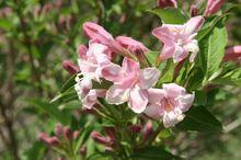 Kwitnący suchodrzew tatarski