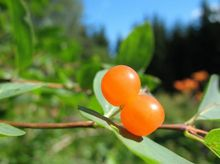 Owoce suchodrzewu tatarskiego