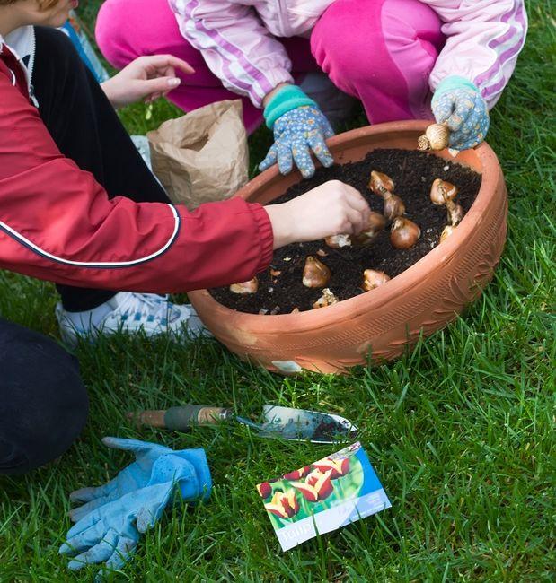 Sadzenie tulipanów w donicy