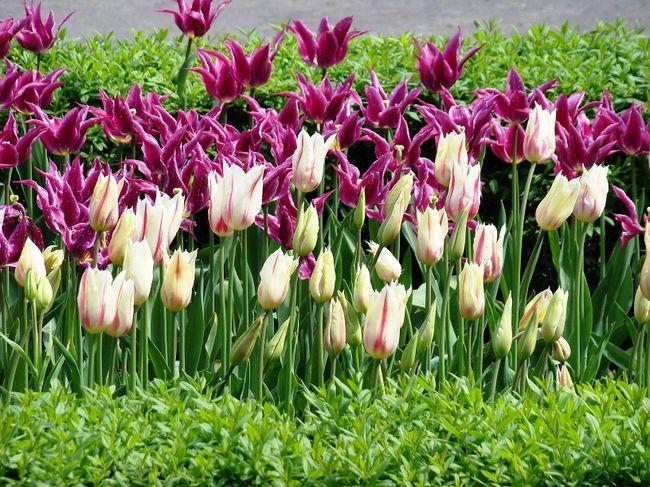 Tulipany lilokształtne