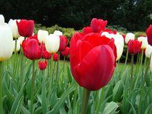 Tulipany czerwone i białe