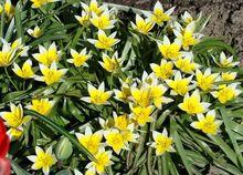 Tulipany żółte z białymi końcami