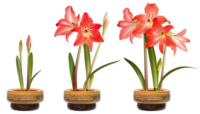 Amarylisy - kwitnienie