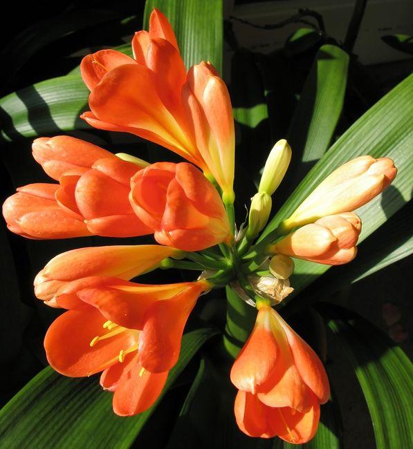 Kliwia - kwiat