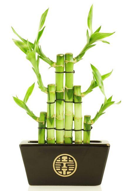 Lucky Bamboo - Dracena sandera