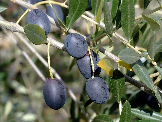 Oliwka - owoce