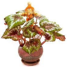 Begonia królewska