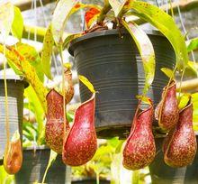 Dzbanecznik - roślina mięsożerna