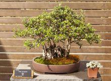 Oliwka europejska - bonsai