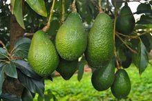 Owoce awokado w środowisku naturalnym