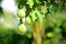 Owoce męczennicy jadalnej (marakuja)