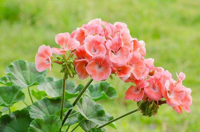 Pelargonia pasiasta - różowa